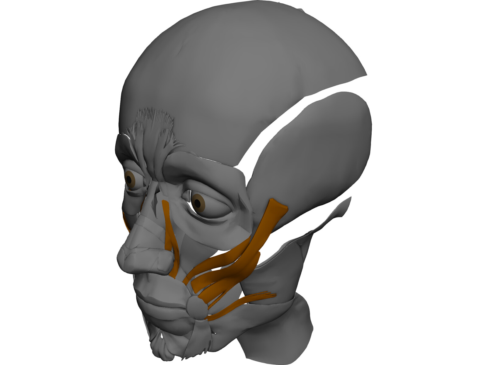 Face muscles 3d model 3d cad browser for 3ds max face modeling