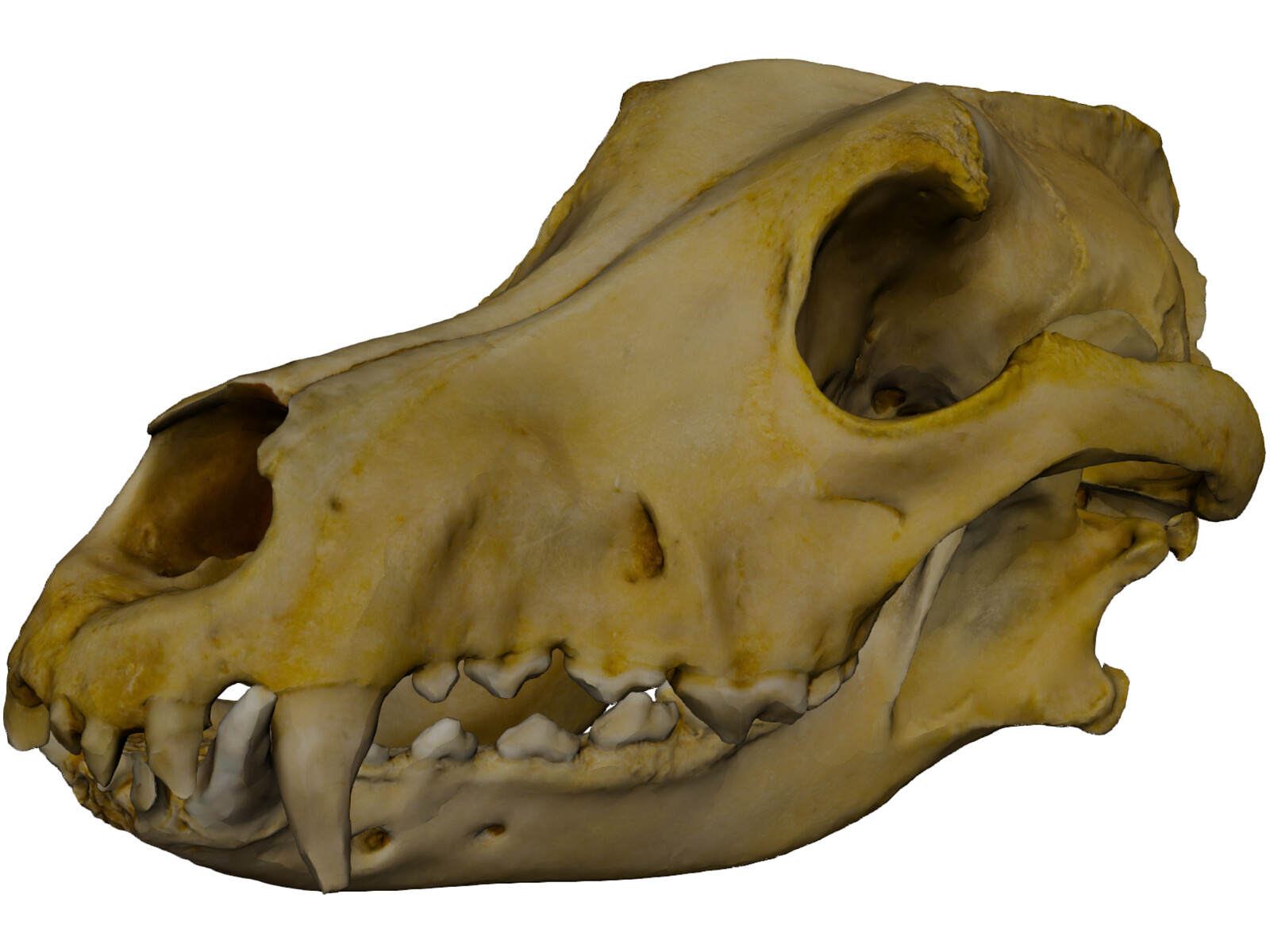 German Shepherd Male Dog Skull Scan 3D Model