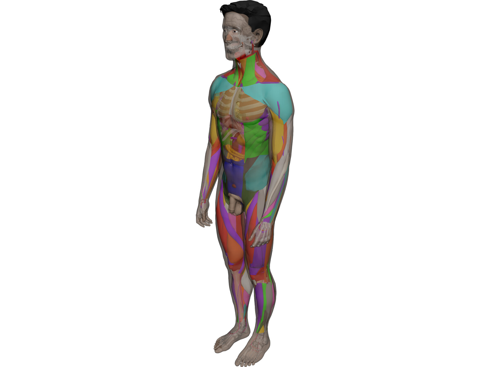 human male complete anatomy 3d model download - 3d cad browser, Muscles