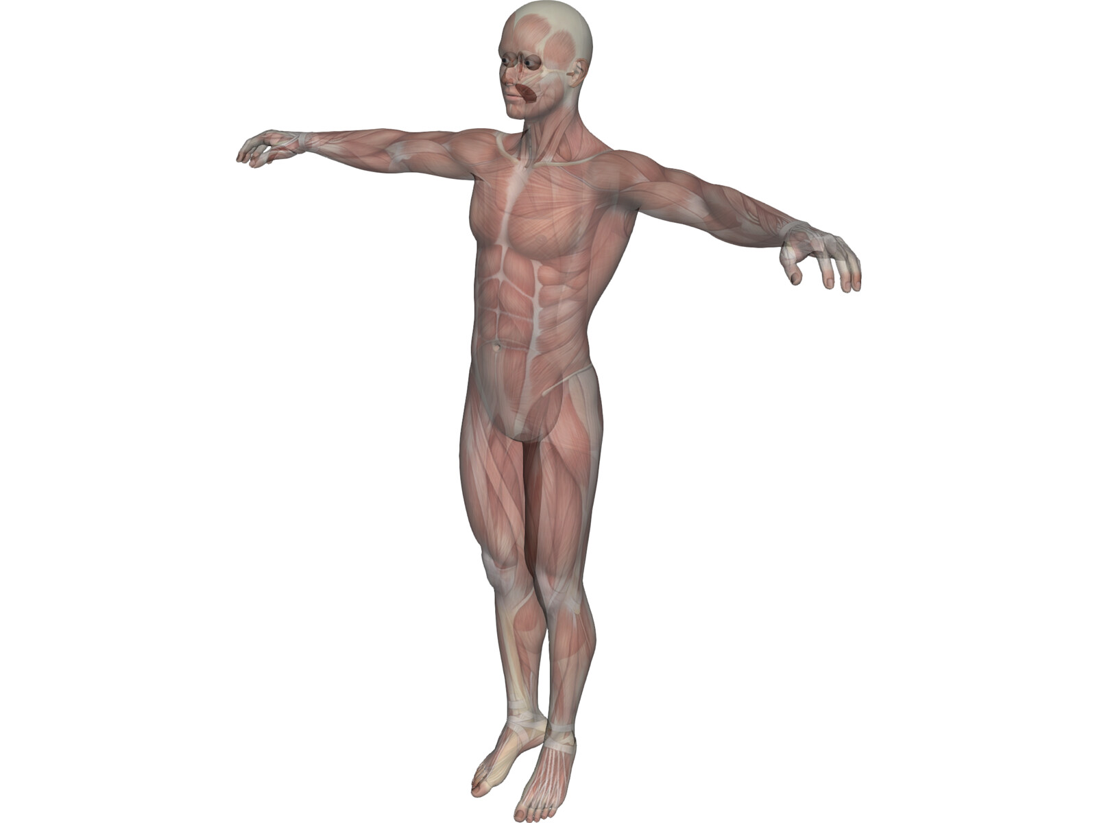 human body with muscles 3d model download - 3d cad browser, Muscles