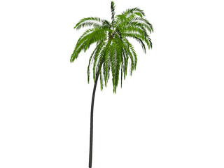 Palm Tree Cocoa 3D Model