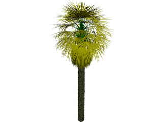 Washingtonia Palm 3D Model