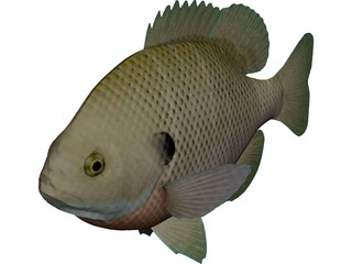 Bluegill 3D Model 3D Preview