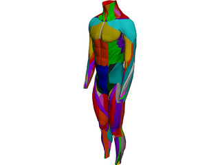 Surface Muscles Male 3D Model