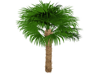 Windmil Palm 3D Model
