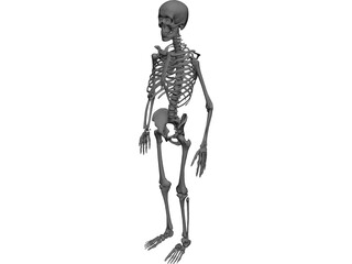Skeleton Human Male 3D Model