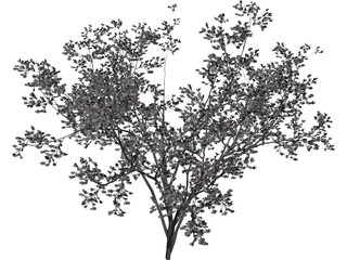 Cercis Siliquastrum Tree 3D Model