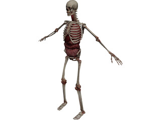 Skeleton with Internal Organs 3D Model