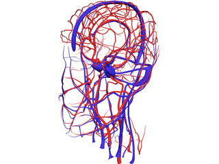 Systemic Circulation of Head 3D Model