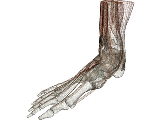 Ankle 3D Model