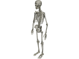 Skeleton Male 3D Model