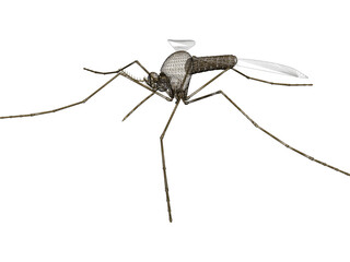 Mosquito 3D Model