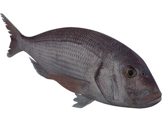 Black Sea Bass 3D Model