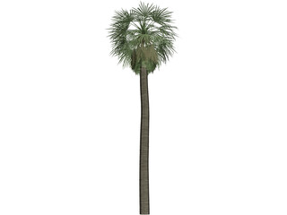 Tree Palm Washingtonia 3D Model