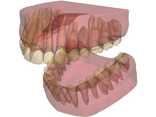 Teeth, Roots, Gums 3D Model